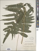 view Goniopteris tetragona (C. Presl) Sw. digital asset number 1
