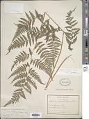view Macrothelypteris torresiana (Gaudich.) Ching digital asset number 1