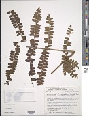 view Didymochlaena truncatula (Sw.) J. Sm. digital asset number 1