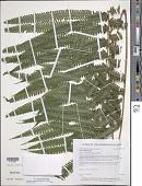 view Amphineuron opulentum (Kaulf.) Holttum digital asset number 1