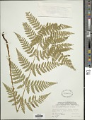 view Dryopteris x triploidea Wherry digital asset number 1