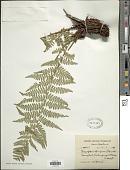 view Dryopteris blanfordii (C. Hope) C. Chr. digital asset number 1