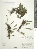 view Elaphoglossum revolutum (Liebm.) T. Moore digital asset number 1