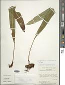 view Elaphoglossum latifolium (Sw.) J. Sm. digital asset number 1