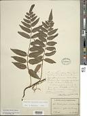 view Mickelia guianensis (Aubl.) R.C. Moran et al. digital asset number 1
