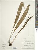 view Elaphoglossum actinotrichum (Mart.) T. Moore digital asset number 1