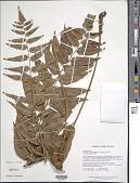 view Cyclodium calophyllum (C.V. Morton) A.R. Sm. digital asset number 1