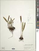 view Elaphoglossum minutum (Pohl ex Fée) T. Moore digital asset number 1
