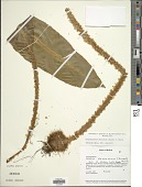 view Elaphoglossum decoratum (Kunze) T. Moore digital asset number 1
