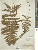 view Ctenitis nigrovenia (Christ) Copel. digital asset number 1