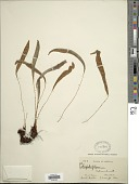 view Elaphoglossum rufescens (Liebm.) T. Moore digital asset number 1