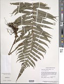 view Stigmatopteris rotundata (Willd.) C. Chr. digital asset number 1