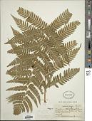 view Dryopteris celsa (W. Palmer) Knowlt., W. Palmer & C.L. Pollard digital asset number 1