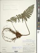 view Megalastrum martinicense (Spreng.) R.C. Moran et al. digital asset number 1