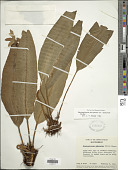 view Elaphoglossum boryanum var. eutecnum Mickel digital asset number 1