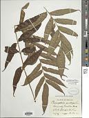view Phanerophlebia remotispora E. Fourn. digital asset number 1