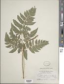 view Polystichopsis chaerophylloides (Poir.) C.V. Morton digital asset number 1
