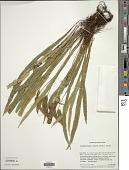view Elaphoglossum eximium (Mett.) Christ digital asset number 1