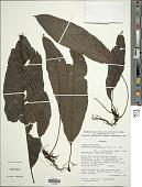 view Bolbitis pandurifolia (Hook.) Ching digital asset number 1