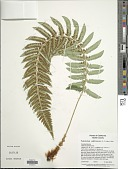 view Polystichum californicum (D.C. Eaton) Diels digital asset number 1