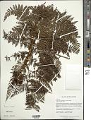 view Lastreopsis amplissima (C. Presl) Tindale digital asset number 1