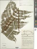 view Polystichum muricatum (L.) Fée digital asset number 1
