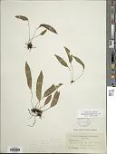 view Elaphoglossum petiolatum (Sw.) Urb. digital asset number 1