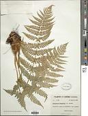 view Dryopteris marginalis (L.) A. Gray digital asset number 1