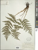 view Dryopteris intermedia (Muhl.) A. Gray digital asset number 1
