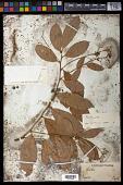 view Nectandra lanceolata digital asset number 1