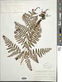 view Dryopteris formosana (Christ) C. Chr. digital asset number 1