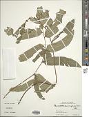 view Cyrtomium caryotideum (Wall. ex Hook. & Grev.) C. Presl digital asset number 1