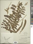 view Nephrolepis biserrata (Sw.) Schott digital asset number 1