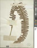 view Nephrolepis exaltata (L.) Schott digital asset number 1
