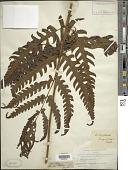 view Pleocnemia irregularis (C. Presl) Holttum digital asset number 1