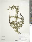 view Dryopteris caucasica Fraser-Jenk. & Corley digital asset number 1