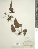 view Tectaria heracleifolia var. trichiodes C.V. Morton digital asset number 1