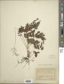 view Tectaria apiifolia (Schkuhr) Copel. digital asset number 1