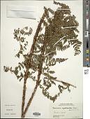 view Dryopteris cyatheoides (Kaulf.) Kuntze digital asset number 1