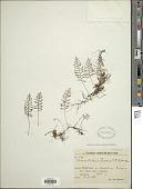 view Elaphoglossum moorei (E. Britton) Christ digital asset number 1