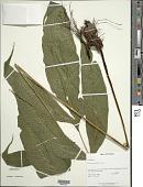 view Tectaria incisa Cav. digital asset number 1