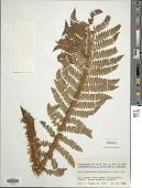 view Polystichum polyblepharum (Roemer ex Kunze) C. Presl digital asset number 1