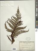 view Lastreopsis decomposita (R. Br.) Tindale digital asset number 1