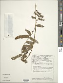 view Nephrolepis biserrata (Sw.) Schott digital asset number 1