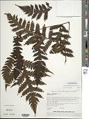 view Tectaria jardinii (Mett. ex Kuhn) E.D. Br. digital asset number 1