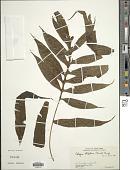 view Leptochilus ellipticus (Thunb.) Noot. digital asset number 1