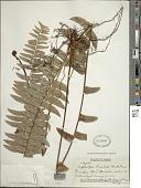 view Nephrolepis multiflora (Roxb.) F.M. Jarrett ex C.V. Morton digital asset number 1