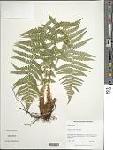 view Dryopteris affinis (Lowe) Fraser-Jenk. digital asset number 1