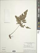 view Triplophyllum funestum (Kunze) Holttum var. funestum digital asset number 1