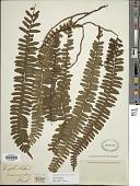 view Arthropteris palisotii (Desv.) Alston digital asset number 1